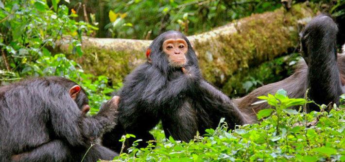 Setkání se šimpanzi v parku Gombe