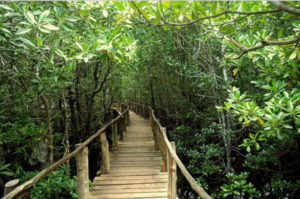 Mangrovníky v Jozani Forest