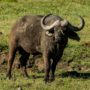 Safari v Ngorongoro