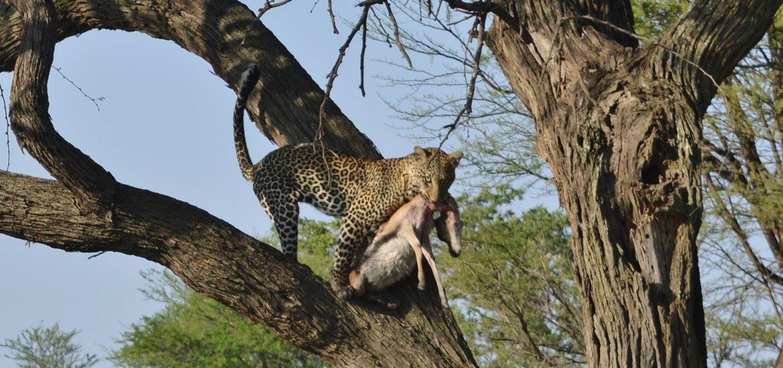 Safari v Serengeti a dalších národních parcích severní Tanzanie