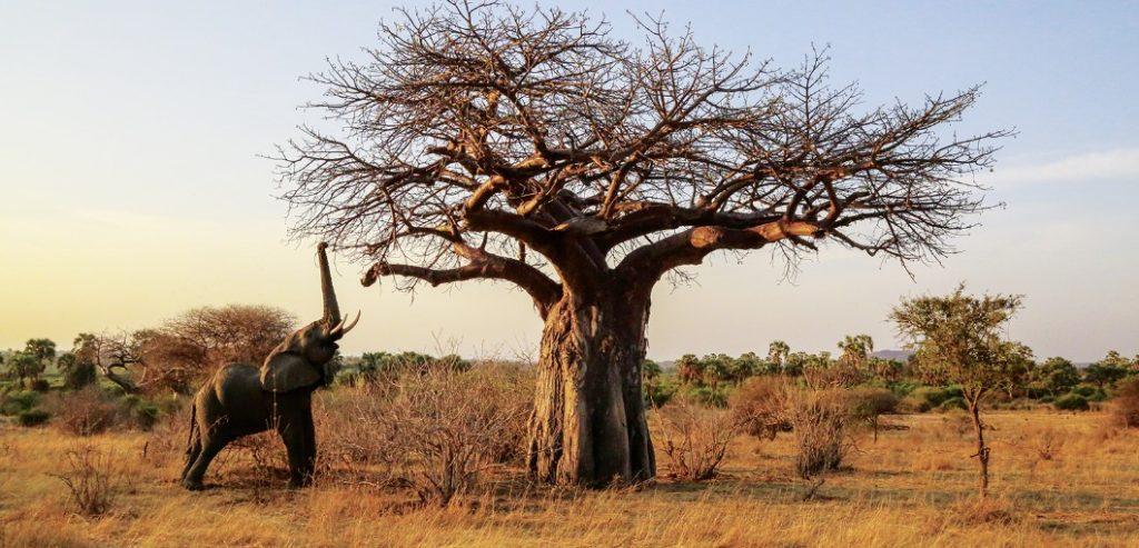 Baobaby národní park Ruaha