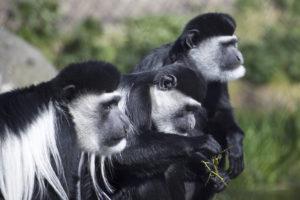 Guarézy pláštíkové v národním parku Arusha